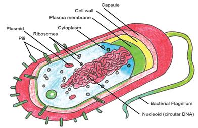 Pleasing Prokaryotic Cells Diagram Labeled Basic Electronics Wiring Diagram Wiring Digital Resources Bocepslowmaporg