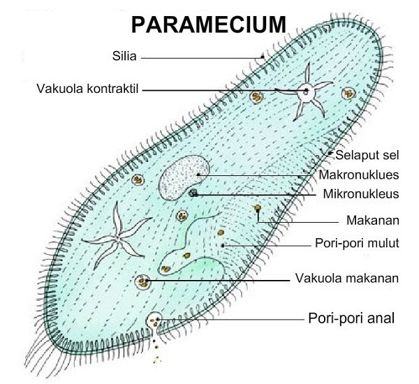 Parametium/NCERT/CBSE Notes/ Class 9/Chapter 7/ Diversity in Living Organisms